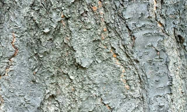 Fig Tree Bark