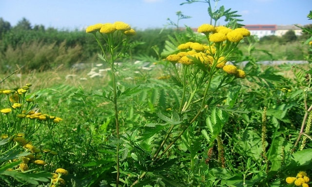 tansy for abortion