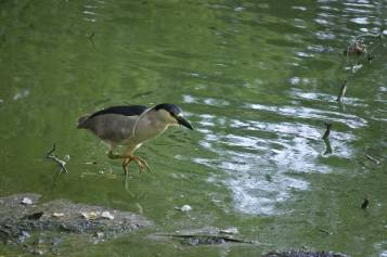 Black-capped-Night-Heron-1