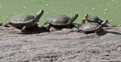Red-eared-Sliders