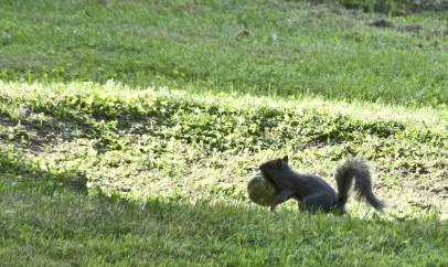 ecureuil-et-tomate