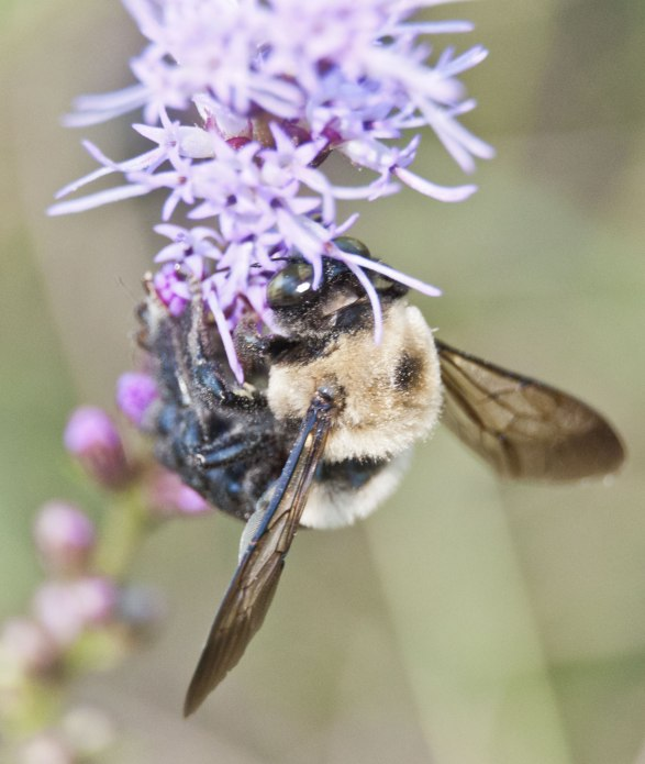 bumble-with-purple-flower