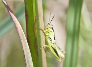 short-horned-grasshopper-2
