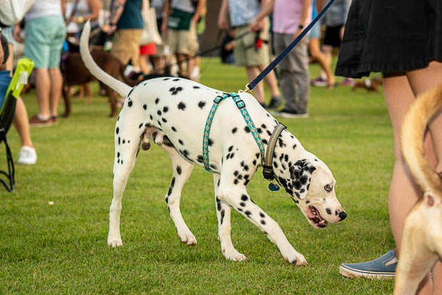 dalmatian-petblock-paina-honolulu-2019-fokopoint-1612 PetBlock Paina at Victoria Ward Park