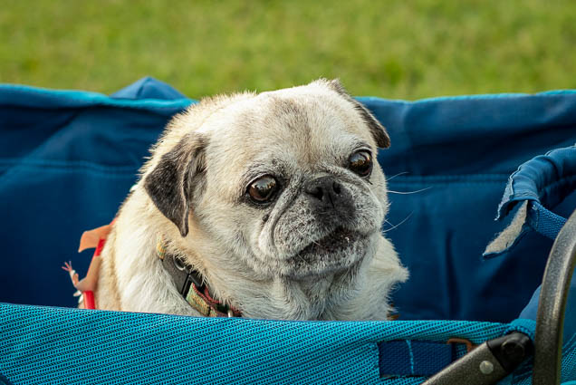 pug-petblock-paina-honolulu-2019-fokopoint-1603 PetBlock Paina at Victoria Ward Park