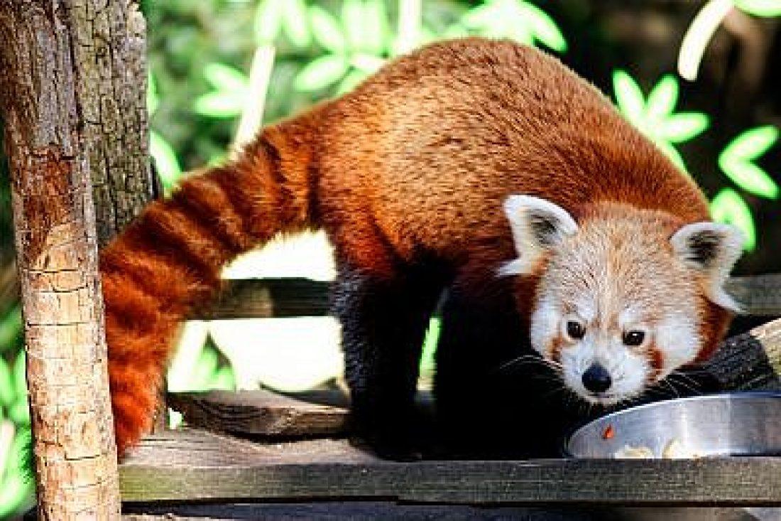 Bild des Monats 20019: der kleine Panda im Tierpark Görlitz.