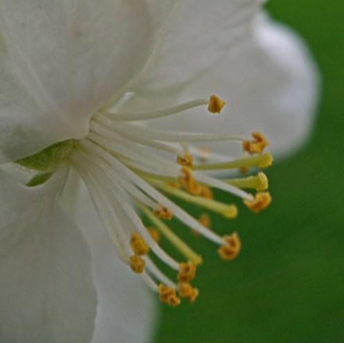 5.1.16 ~ white flower bud (rb)