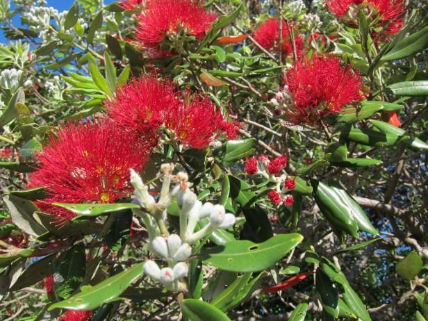 Pohutakawa - budding, emerging, blooming