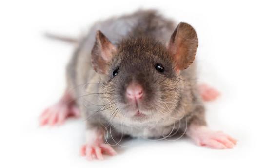 История питомника «SZCZUROWNIA», или «Крысы тоже достойны ...