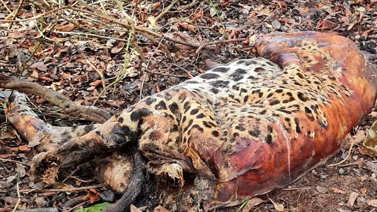 You are currently viewing Duas onças-pintadas e mais 15 animais são encontrados mortos no Pantanal em Corumbá
