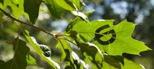Urbana Park District leaf logo