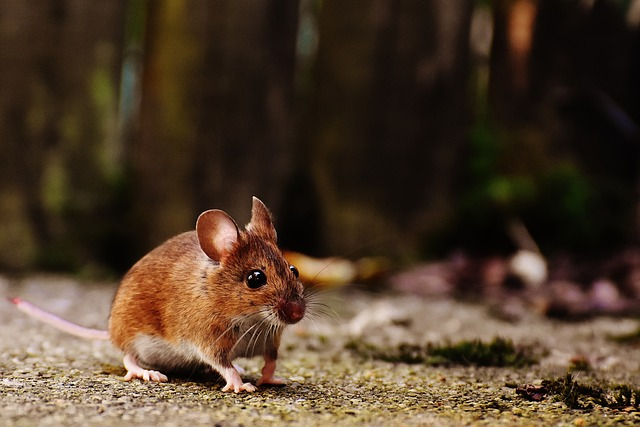 The teeth of this cute little mouse would be envied by humans! © Alexandra https://pixabay.com/en/mouse-rodent-cute-mammal-nager-1708347/