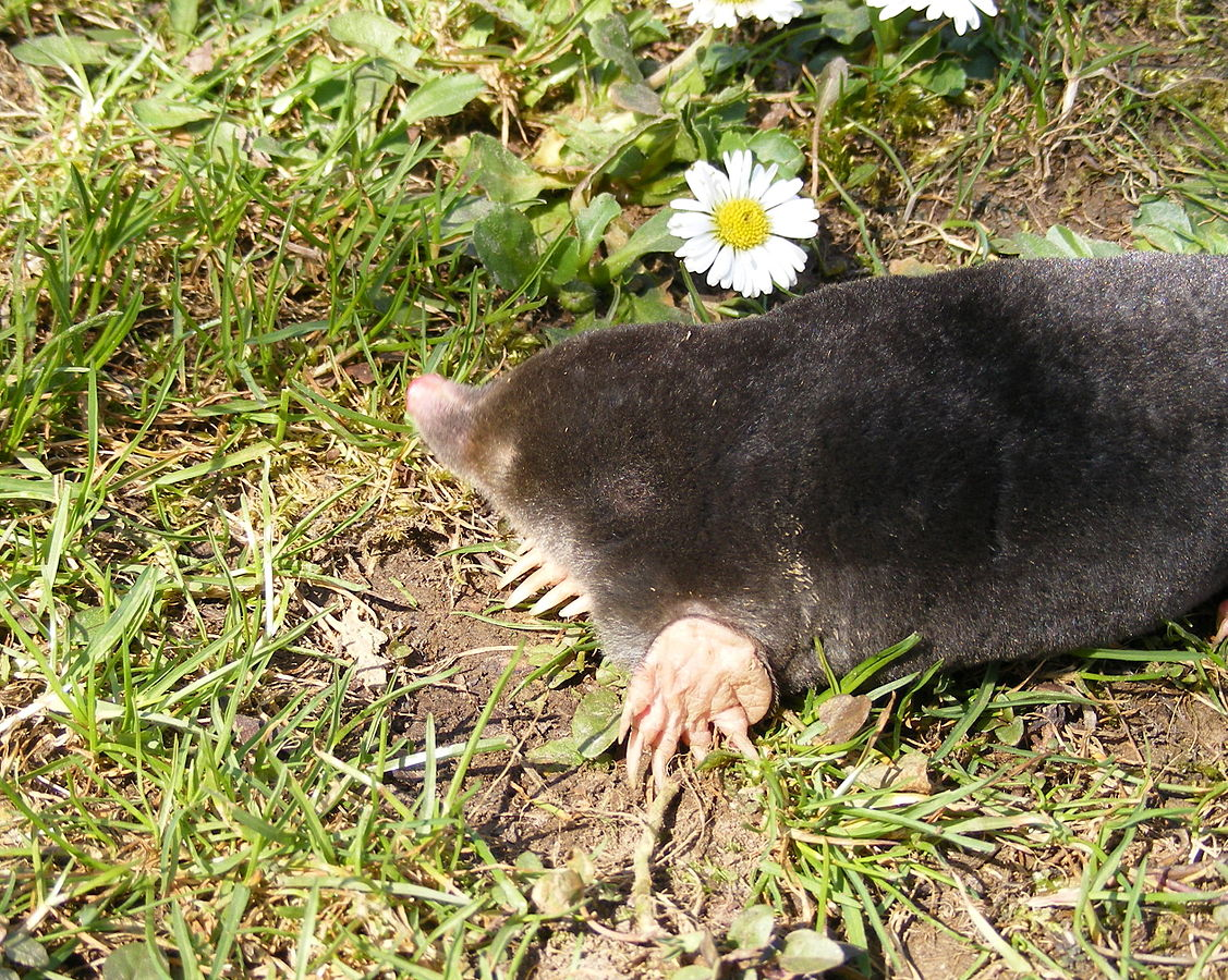 The European Mole, Talpa europaea © Stanislaw Szydlo, CC BY-SA 3.0, https://commons.wikimedia.org/w/index.php?curid=6433426
