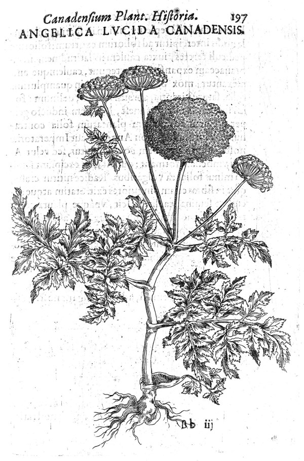 An illustration of Angelica Lucida Canadensis, from Jacques-Philippe Cornut, Canadensium Plantarum aliarumque nondum editarum Historia (Paris, 1635). Wellcome Library, London. Angelica was a common ingredient in plague remedies and its healing properties were said to be revealed to mankind by the archangel Raphael. CC BY 4.0, https://commons.wikimedia.org/w/index.php?curid=35944583