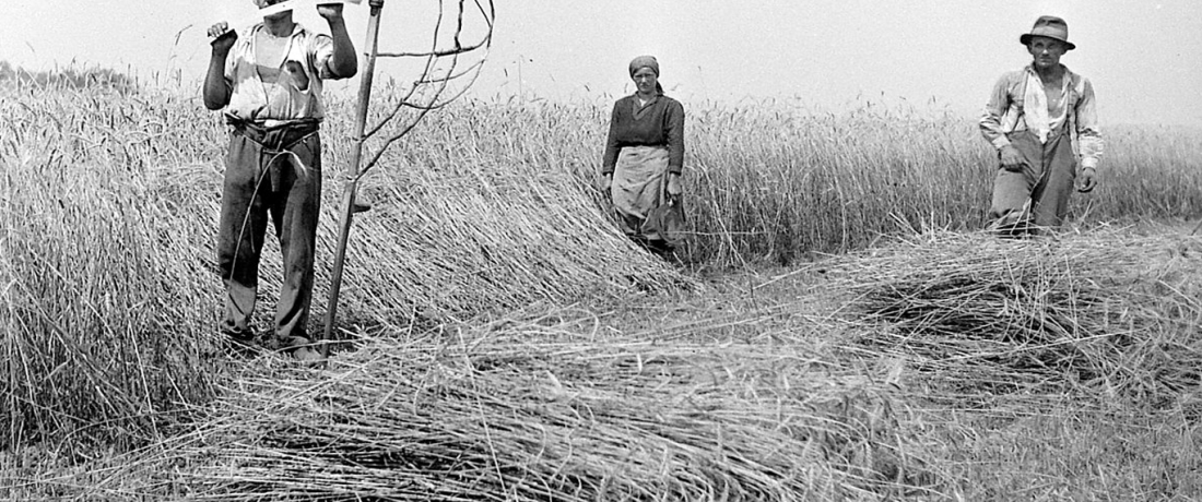 An old black and white photo of three people scything corn in a field.