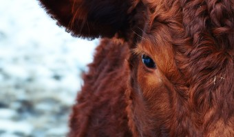 Close up of red-brown cow