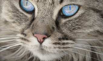 Close up of cat with blue eyes