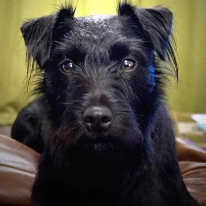 Fern the folk soap pet Patterdale dog looking prettier than ever after her bath