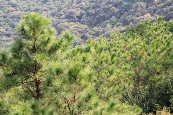 棧道旁種滿松樹