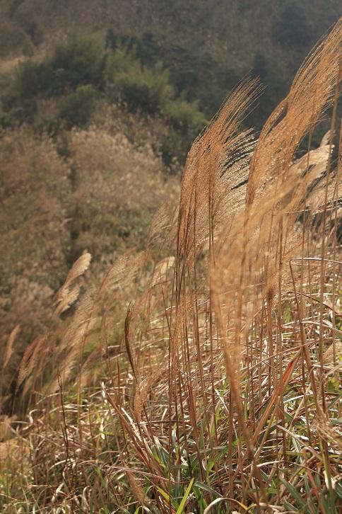 秋天的芒草海
