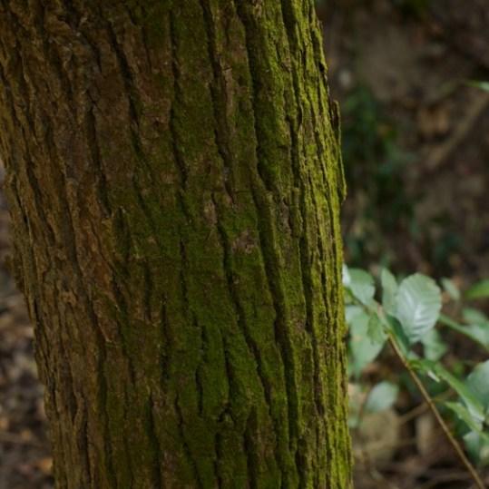 樹皮有細緻的深溝縱裂紋的黃樟樹