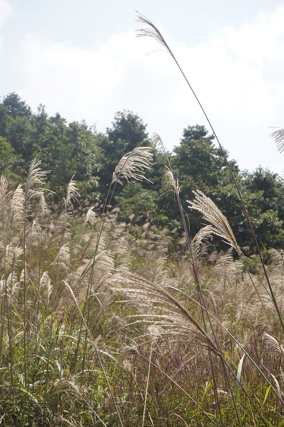 打瀉油坳的芒草