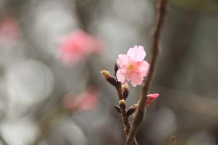 這棵是桃花
