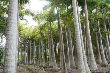 彭屋的棕櫚樹林