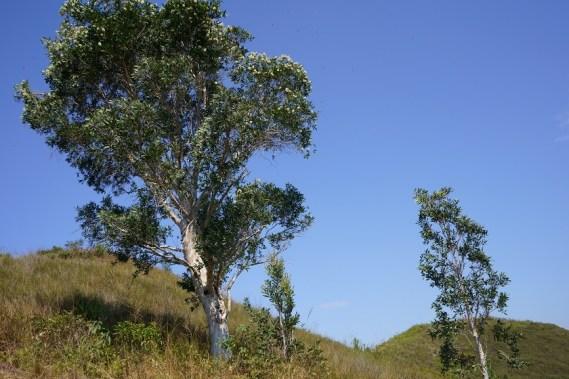 山上罕有的高樹