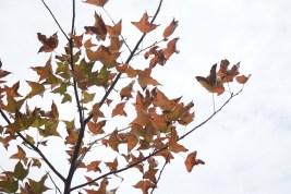 柏架山道上的楓香