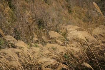 副峰山腰處有很多芒草