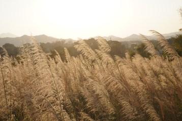 三鄉亭的五節芒草原