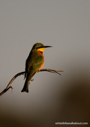 Little Bee-eater Malyo Wilderness Camp, Kwando River, Caprivi Strip, Namibia
