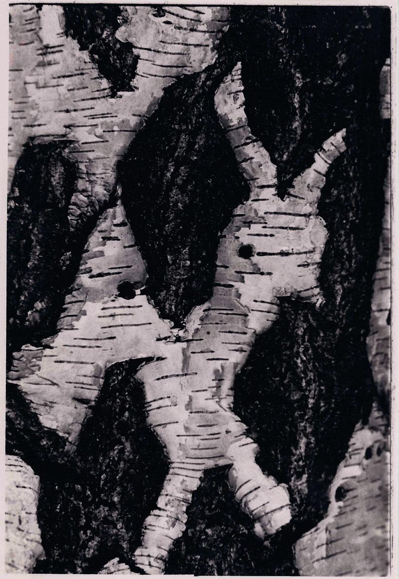 Birch Bark  © Yvonne (Burhenne) Cornell, 1978