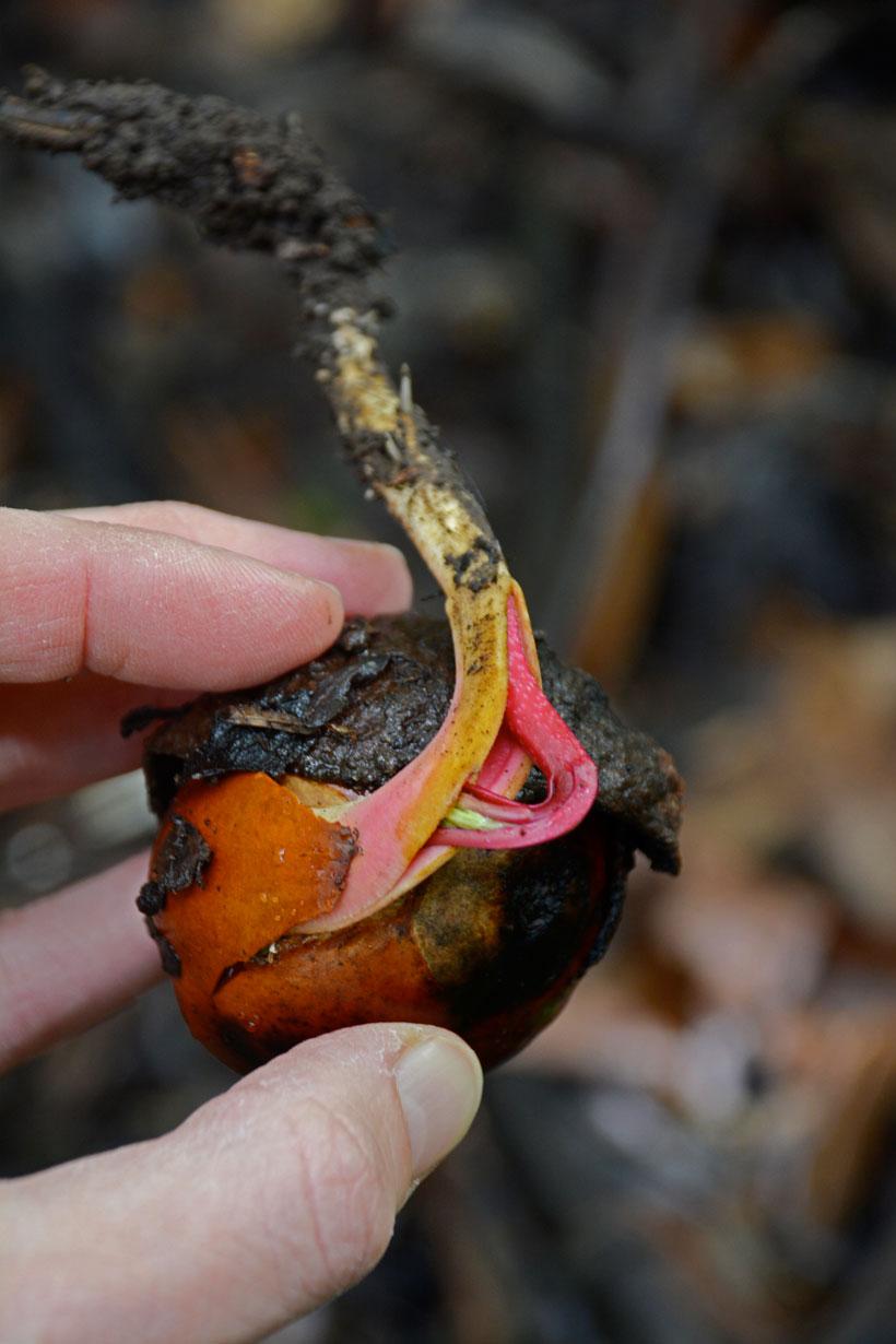 chestnutsprouting