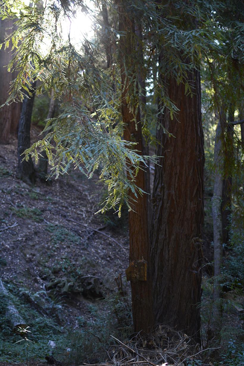 Redwood Light Hole