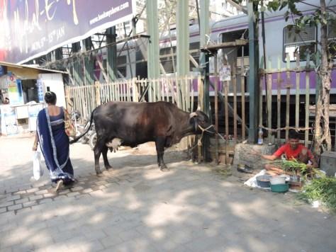 Selten in Mumbai zu sehen, da herrenlose Kühe von den Behörden aus dem Stadtzentrum gebracht werden