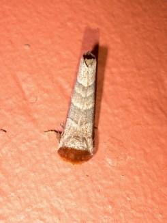 Moth 09