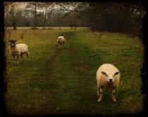 Please sheep, may I pass?