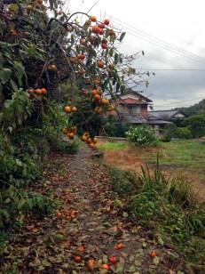 Persimmon (kaki) are in season