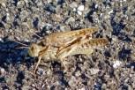 'Suzumushi' (crickets)