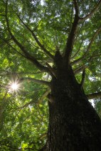 Sun shines through the leaves of a large Ginkgo tree, Iseji route