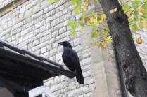 The ravens were alarmingly large.