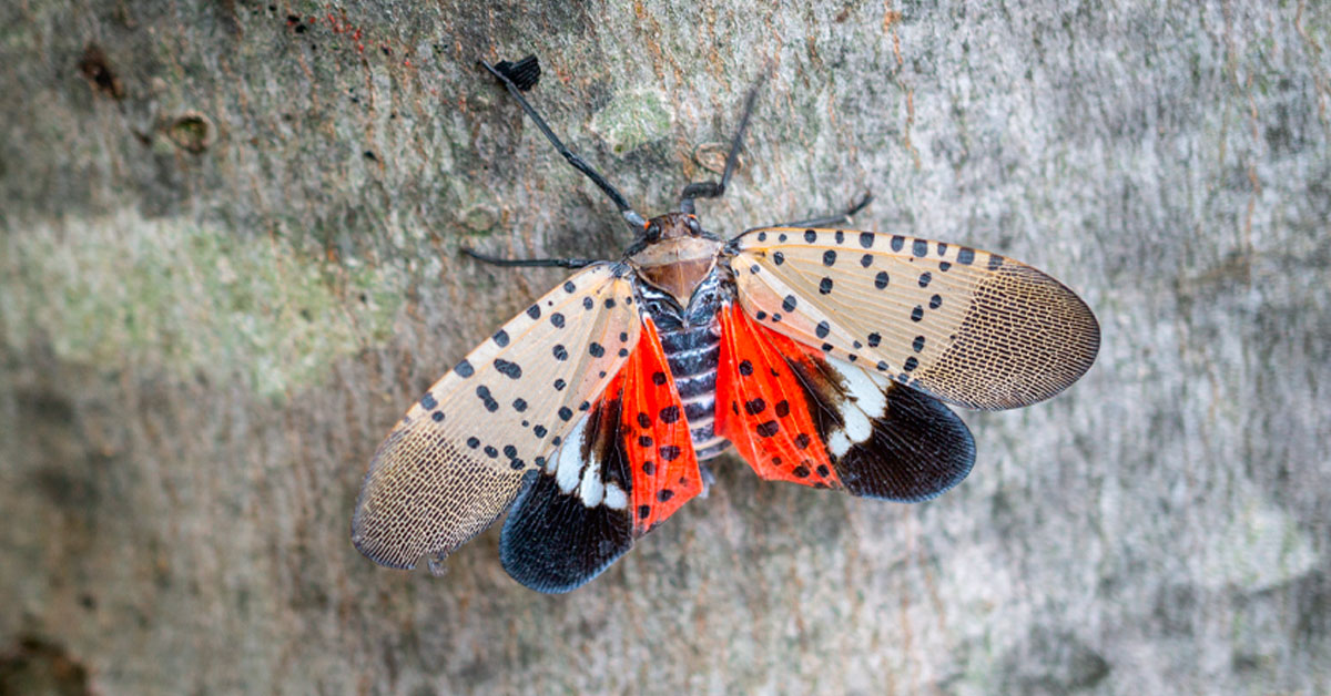 Residents Urged To Keep An Eye Out For Spotted Lanternfly Egg Masses