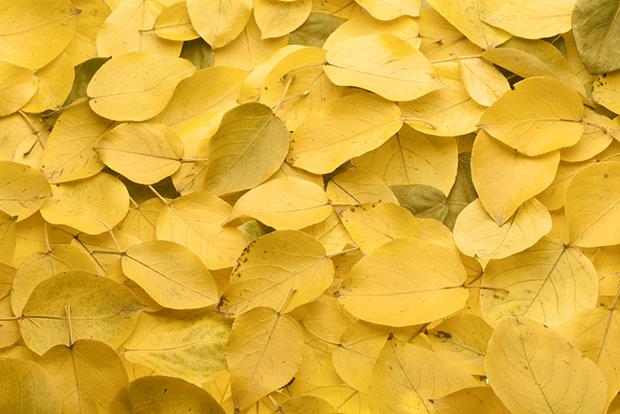 folhas amarelo yellow cores curiosidades shutterstock_61601560