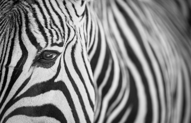 curiosidades cor preta preto zebra