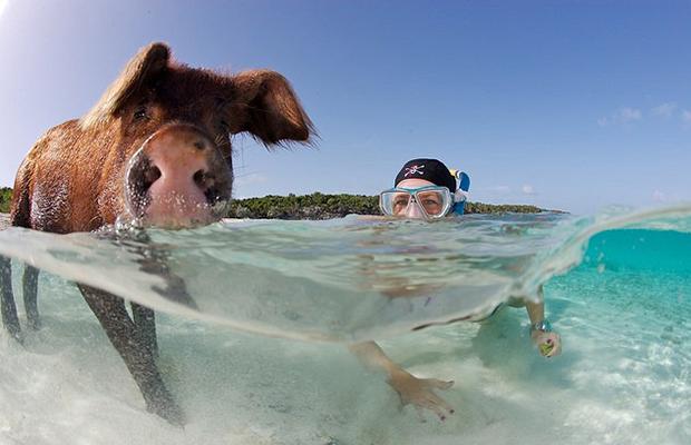 ilha dos porcos Big Major Cay bahamas