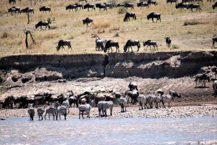The Great Wildebeest Migration - Wildebeest and Zebra Gathering on the Banks of the Mara River