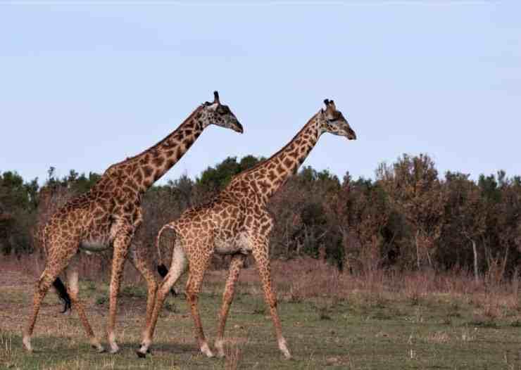 Giraffes on Tanzania's Northern Serengeti