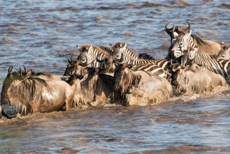 Zebra and Wildebeest Crossing the Mara River